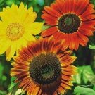 Sunflower Seeds-Mixed Colors-