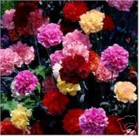 Carnation Seeds-Marguerite Double Mixed Colors-Cottage Garden!SOLD OUT