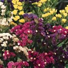 Statice Rainbow Mixed Colors-Seeds- **Dried Flower Arrangements**
