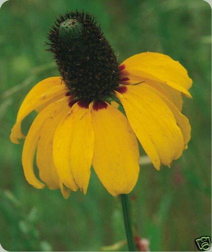 Clasping Leaf Coneflower Seeds  **Likes it HOT!**Cut Flower**