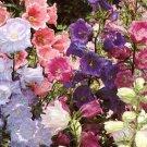 Canterbury Bells Seeds **Cup & Saucer** 4' Tall!!  Long Bloomer!