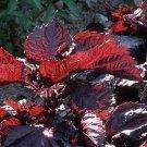 Red Shiso Organic Herb Seeds **Sushi**