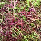 Mustard Mizuna Heirloom Seeds *Japanese Mustard Greens* Salads