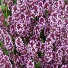 Thyme  Seeds**Creeping** Mother of Thyme**Lavendar*Containers*Fragrant**Tea**