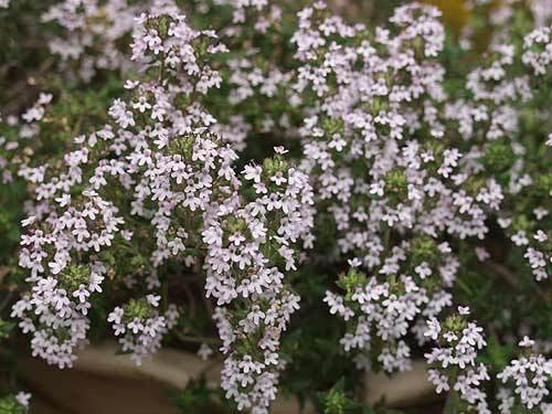 Organic Thyme Seeds **Herbs**Medicinal**