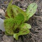Forellenschluss Lettuce Seeds ** Heirloom**Organic**