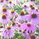 Coneflower Seeds **Purple** Echinacea**Medicinal**