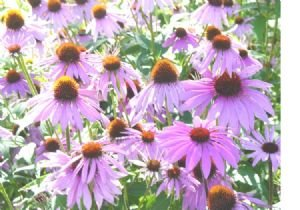 Coneflower Seeds **Purple** Echinacea**Medicinal**