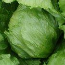 Iceberg Lettuce Seeds **Organic**