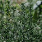 Summer Savory Seeds Organic Medicinal Tea Seasoning Herb for Meats and Veggies