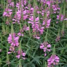 Obedient Plant Seeds Lilac Flowers
