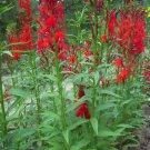 Cardinal Flower Lobelia Cardinalis Seeds Swallowtail Butterflies
