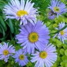 Smooth Blue Aster Seeds Bright Drought Tolerant