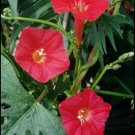 Morning Glory Seeds-Bright Scarlet-Hummingbirds