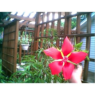 PERENNIAL TEXAS RED STAR HIBISCUS ( 30) SEEDS