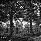 CALIFORNIA PALM TREE DATE PHOTO DOROTHEA LANGE  VINTAGE COACHELLA VALLEY LANDSCAPE 1937