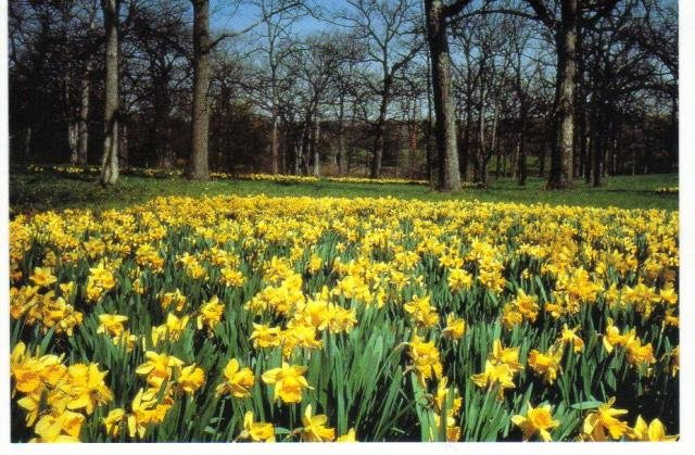 New Postcard, Daffodil Glade, The Morton Arboretum, Very Good Condition