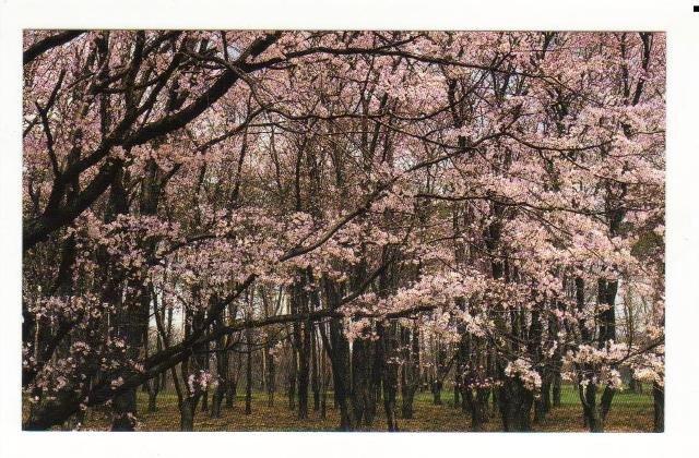 New Postcard, Sargent Cherry Trees, The Morton Arboretum, Very Good Condition