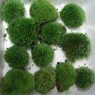 Live Cushion Moss Terrarium- 12 Med Size