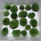 Live Cushion Moss Terrarium - 16 Small Size