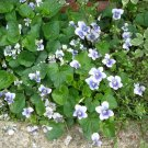 Light Blue - Confederate Violet Plants