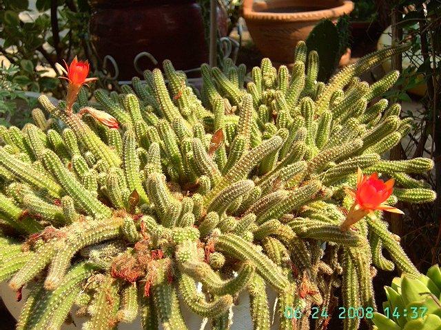 Peanut Cactus Echinopsis Chamaecereus