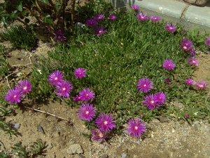 Ice Plant: Delosperma Cooperi Plants - small box