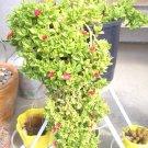 Ice Plant: Aptenia Cordifolia - Baby Sunrose - small box