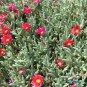 Ice Plant: Malephora Crocea - Medium Box