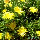Ice Plant: Delosperma Nubigenum - Gold Nugget - Medium Box
