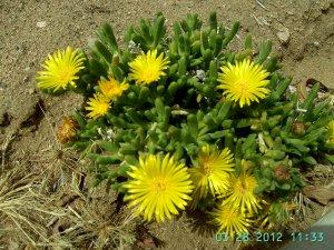 Ice Plant: Malephora luteola - Rocky Point Ice Plant - Large Box