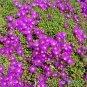 Ice Plant Purple Floribunda - Drosanthemum floribundum - 1 gallon