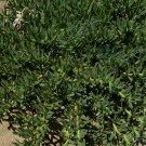 Ice Plant: Carpobrotus Chilensis - 20 Plants