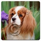 BAC80A Cavalier King Charles, Brown & White Coasters
