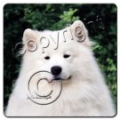 BAC39 Samoyed  Coasters