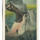 Picture of Hippopotomus with wide opened jaws at Ringling Brothers Sarasota Florida Postcard