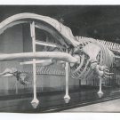 Skeleton of Right Whale Chicago Natural History Museum Illinois Postcard