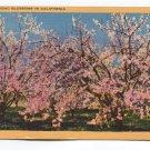 Almond Blossoms in California Postcard