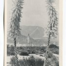 Yucca Trees Wild Flowers in Kern County Bakersfield California Postcard
