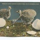 Three of a Kind Cawston Ostrich Farm South Pasadena California Postcard