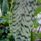 MOTHER IN LAW'S TONGUE ALLIGATOR'S TAIL PLANT GARDEN GARDENING SUMMER jade GREEN NEAT shape
