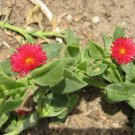 PINK FLOWER anemone SUCCULENT VINE GROUNDCOVER PLANT CUTTING GARDEN GARDENING HOME cactus