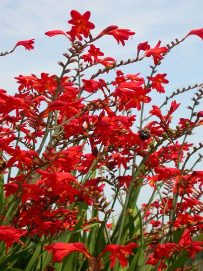 SOLD OUT - CROCOSMIA EMBERGLOW RARE EXOTIC lily FLOWERS bulb seed PLANTS GARDEN HOME