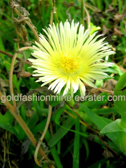 YELLOW FLOWER PLANT SUCCULENT CACTUS HOME GARDEN GARDENING