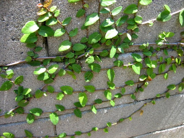 CREEPING FIG ficus pumila FAST GROWING CLIMBING FERN TREE PLANT GARDEN HOME GARDENING