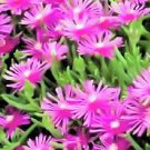 delosperma ground cover STICKY FINGER SUCCULENT CACTUS ice PLANT GARDEN HOME STRINGY CUTE