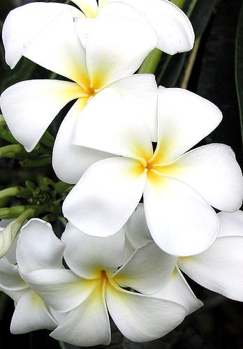PLUMERIA HAWAII live PLANT GARDEN FLOWER HOME tropical cactus