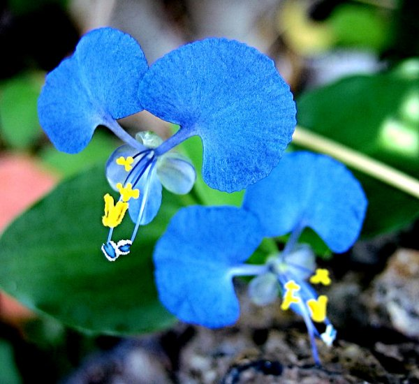 BLUE WILLOW ORCHID FLOWER GARDEN CUTTING PLANT TREE SEED HOME