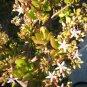JADE money PLANT - Crassula argentea - garden gardening flower landscape design BONSAI