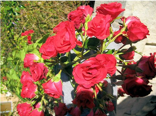 RED ORANGE MINI MINIATURE flower ROSES ROSE CUTTING CLUSTER GARDEN HOME PLANT SEED PLANTS